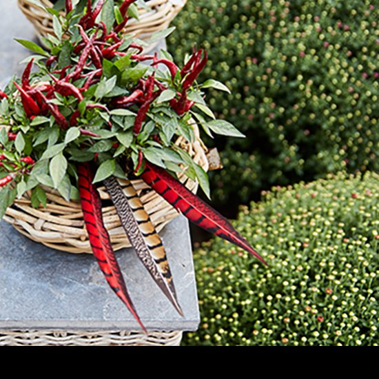 Spice up your flower arrangements with these colored pheasant feathers.